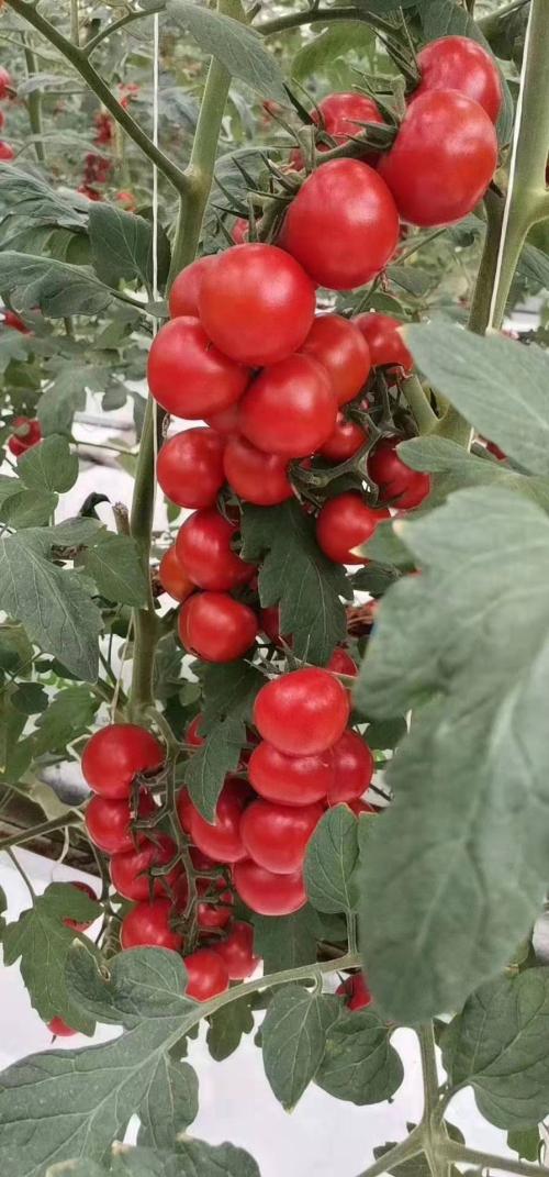 公司在南昌一年多,辛勤汗水结硕果,智能温室大棚建的好,蔬菜瓜果种植的也不错