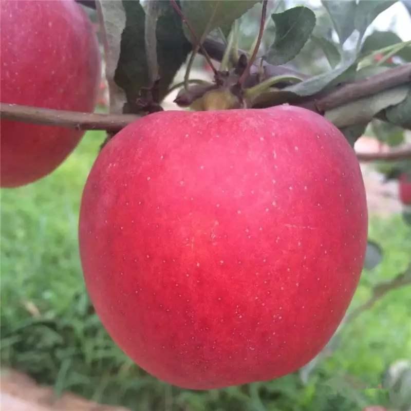 山东烟富0号苹果苗