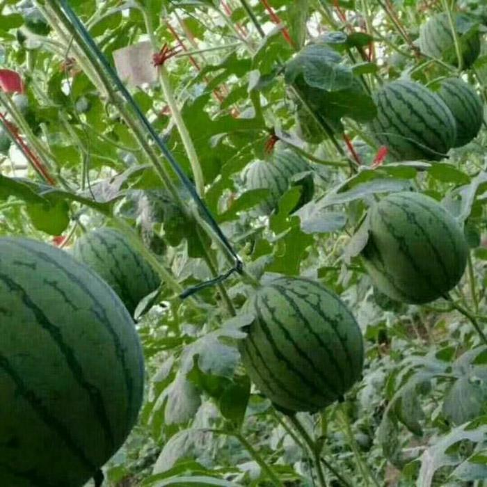 田园草莓采摘季
