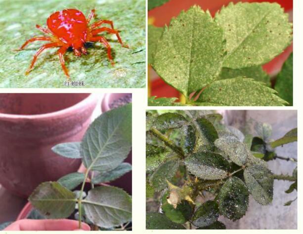 月季病虫害识别之红蜘蛛