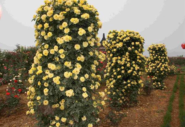 造型月季 花柱