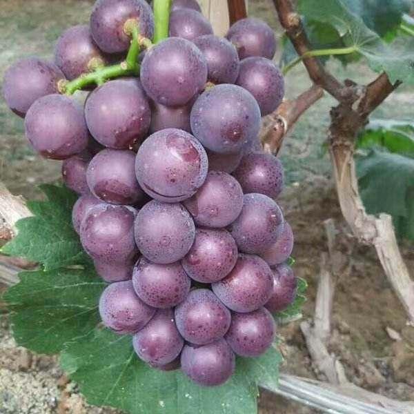 广西海吉星珍珠葡萄价格