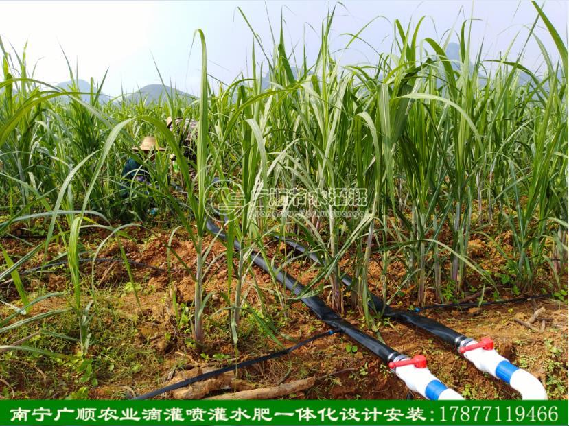 广西甘蔗双高项目