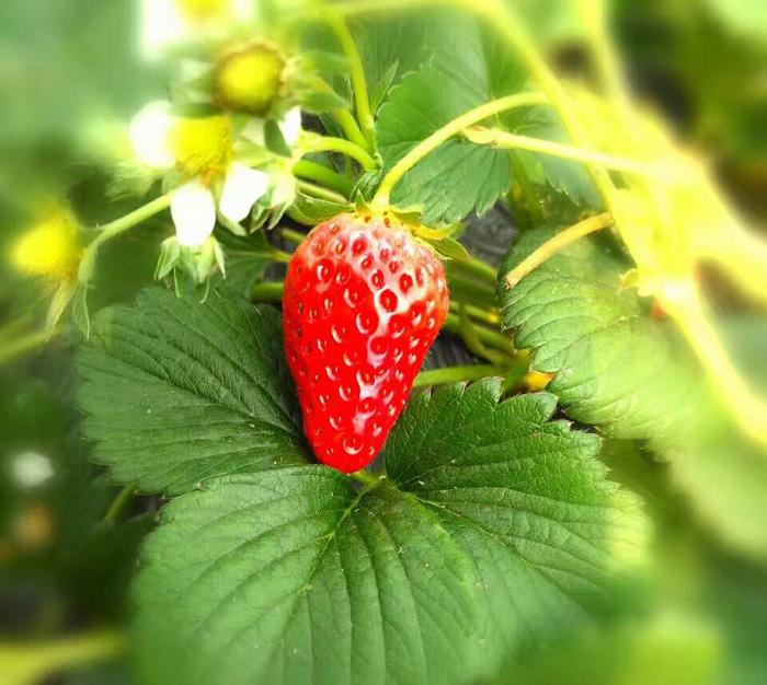 王府休闲草莓采摘