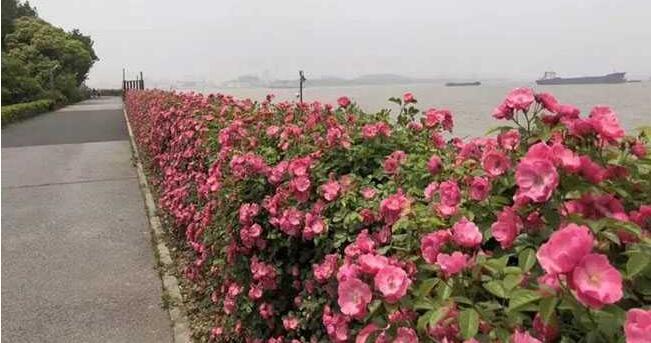 滨江森林公园月季花墙