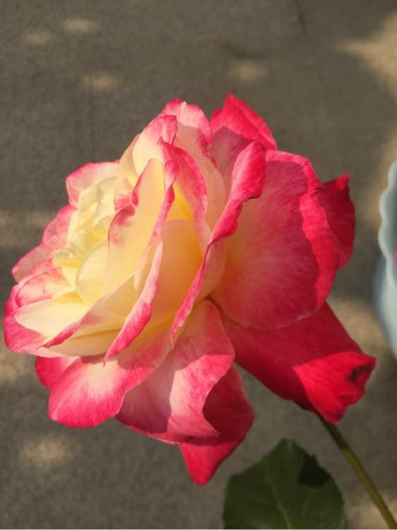 双喜月季花朵超大