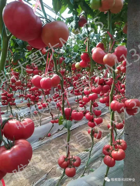 番茄卷叶原因分析