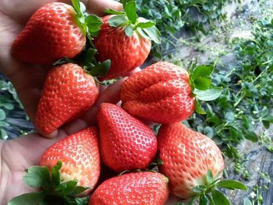 甘露草莓苗