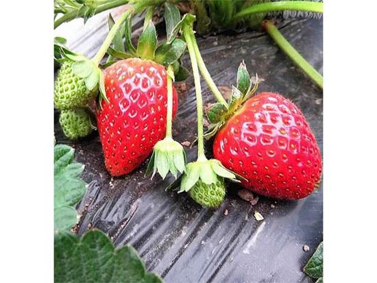 甜查理草莓苗