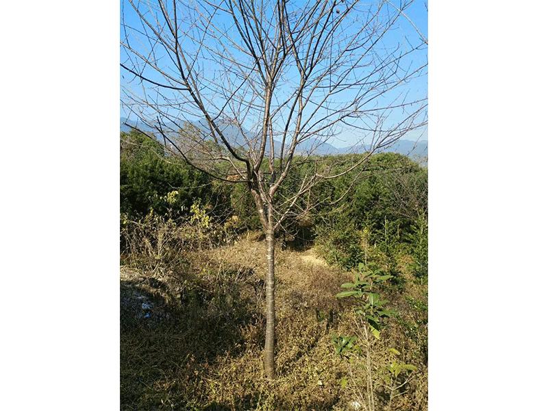 福建山樱花