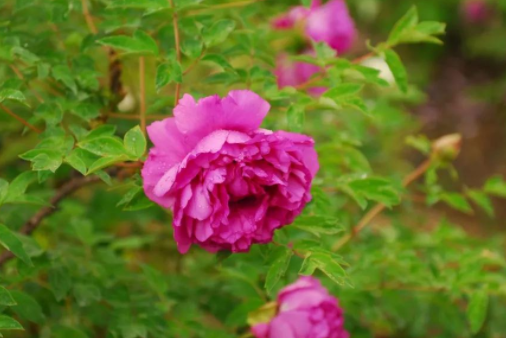 甘肃紫斑牡丹苗