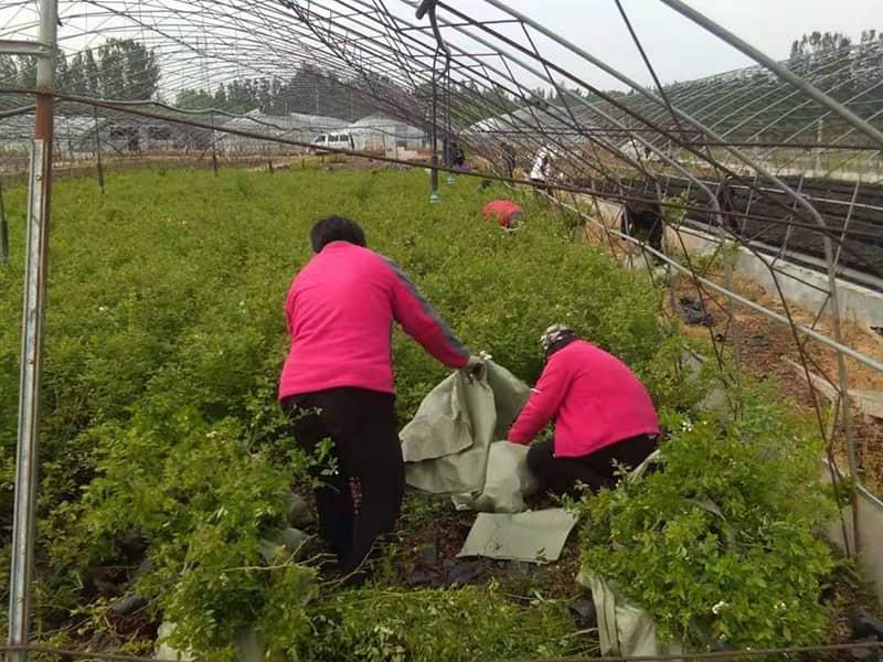 蓝莓种苗基地
