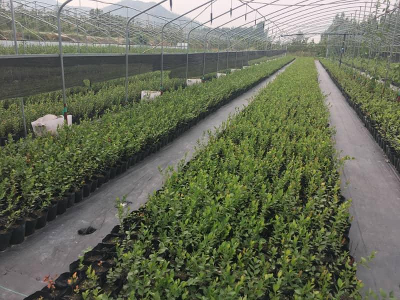 蓝丰蓝莓树苗