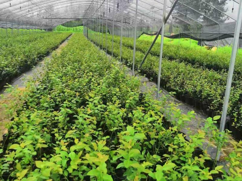 都克蓝莓苗价格