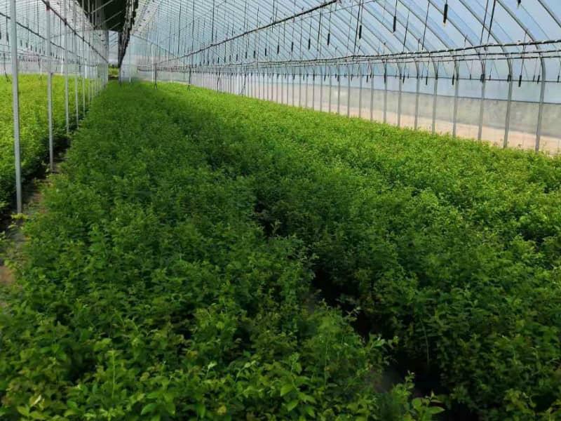 绿宝石蓝莓苗价格