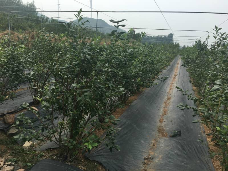 莱格西蓝莓种苗