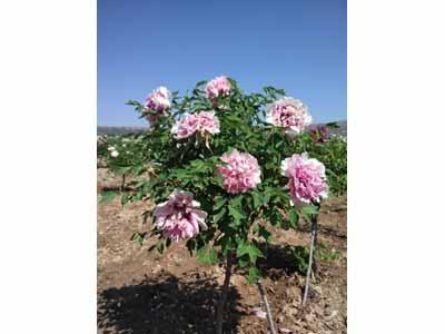 新疆紫斑牡丹树