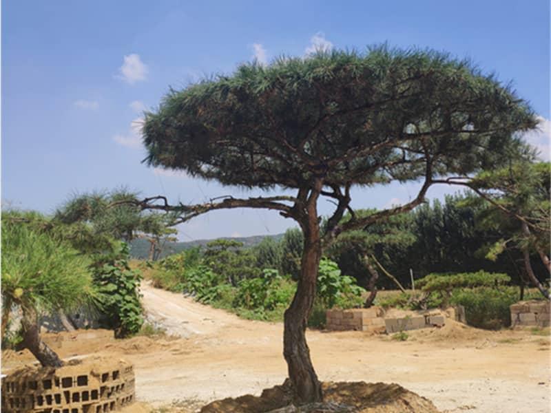 造型油松樹