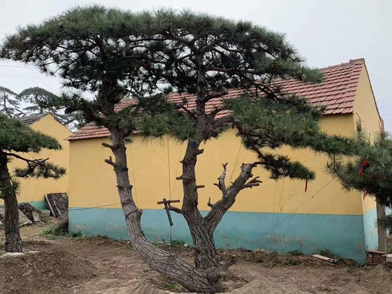 造型黑松樹