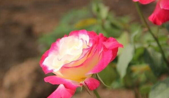 大花月季双色粉 你看好看吗?