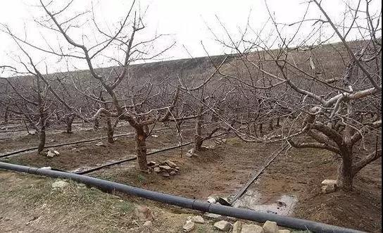 果园不冬灌,受冻又受旱