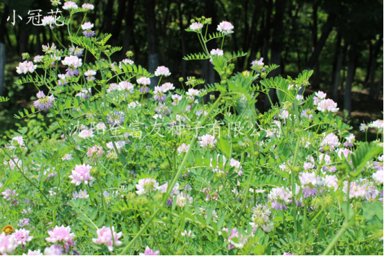 生态护坡草种