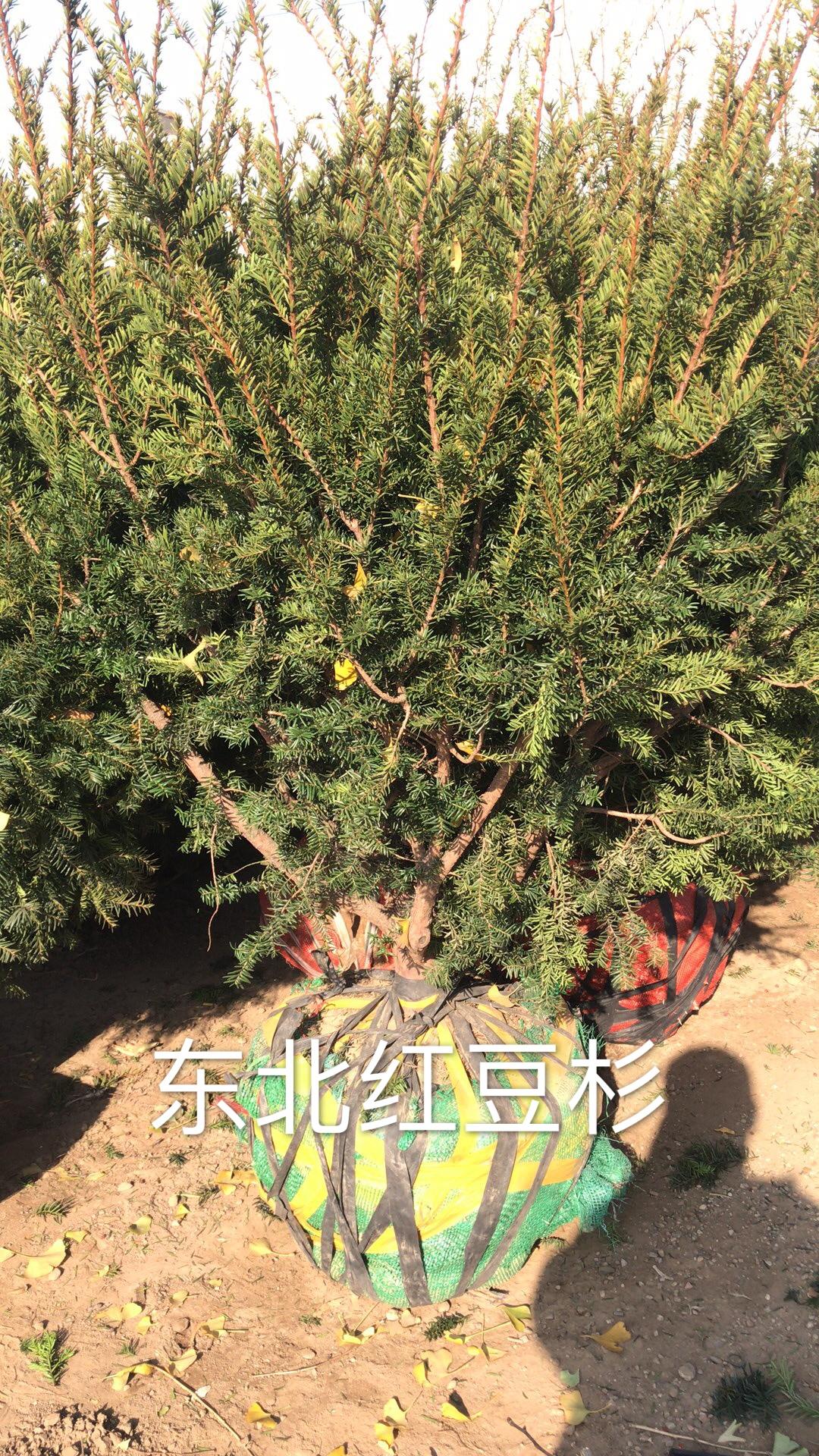 金富友大果树