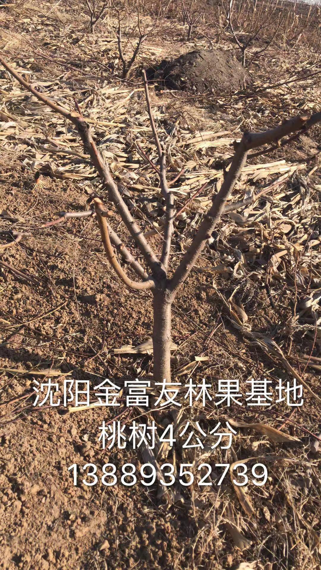 桃树4公分