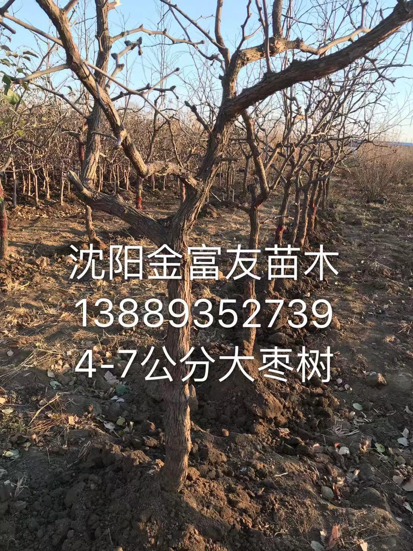 4-7公分大枣树
