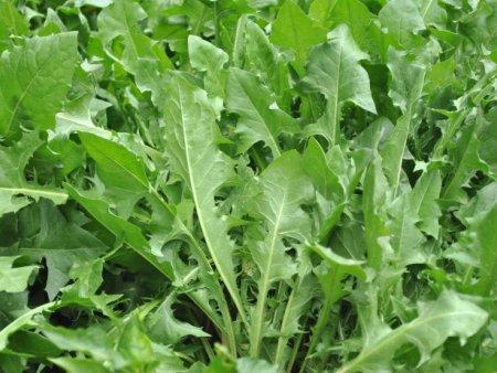 高产牧草品种