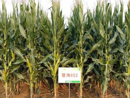 玉米种子基地