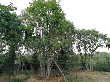 丛生蒙古栎批发