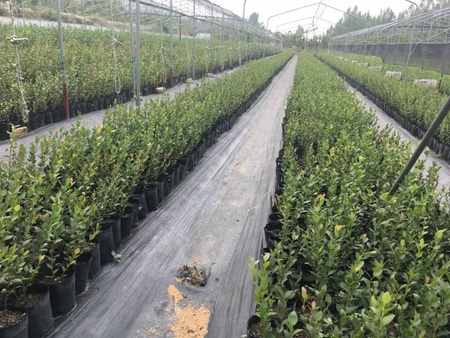 莱格西蓝莓苗