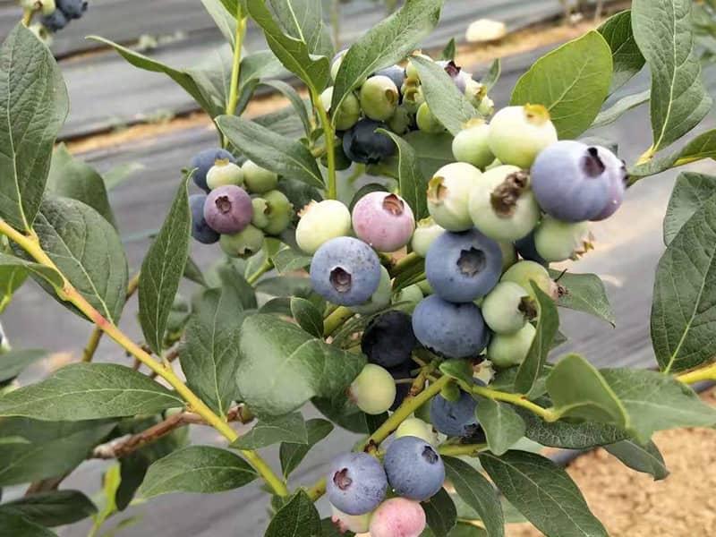 蓝莓苗品种