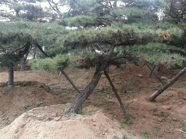 山東造型油松