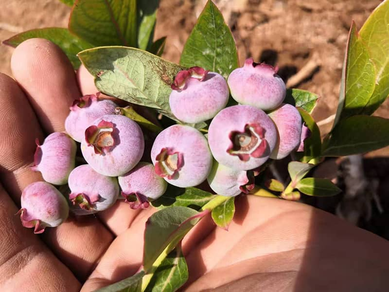 蓝丰蓝莓苗多少钱一颗