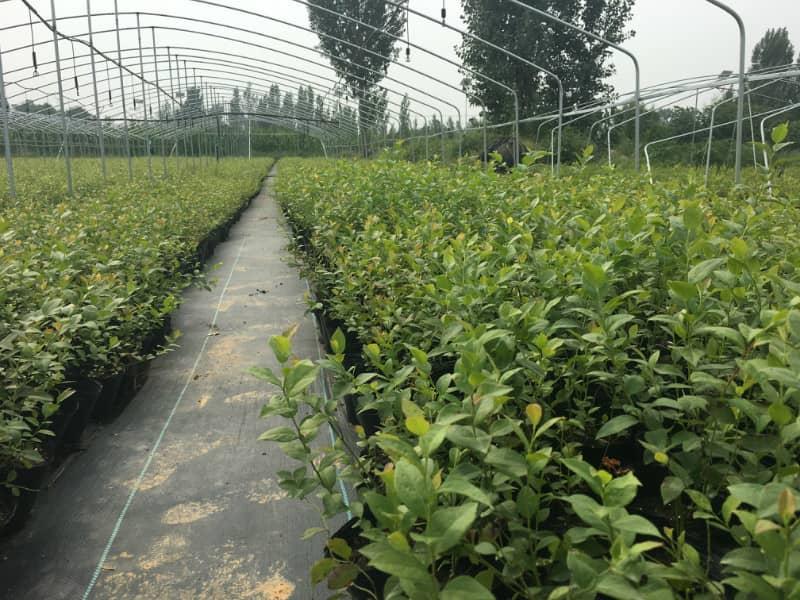 绿宝石蓝莓苗哪里有