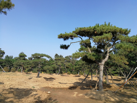 景觀松基地