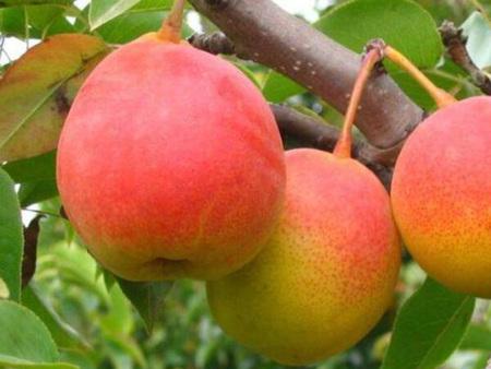 金红梨树苗