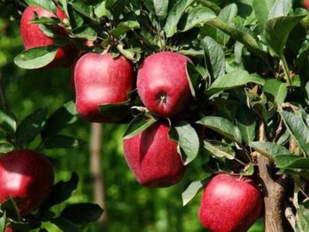 矮化苹果苗新品种