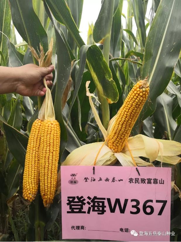 登海W367玉米种子