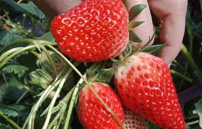 盆栽草莓苗