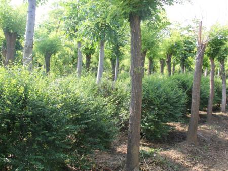 山东柿子树基地