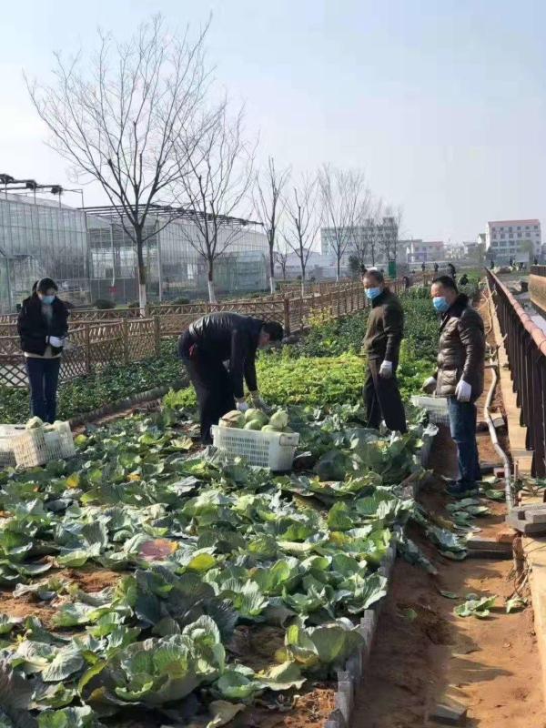 为保障蔬菜市场供应,公司党员突击队参与园区蔬菜采摘