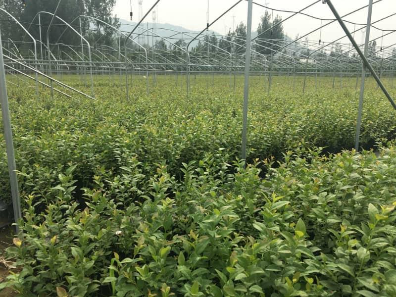 珠宝蓝莓苗