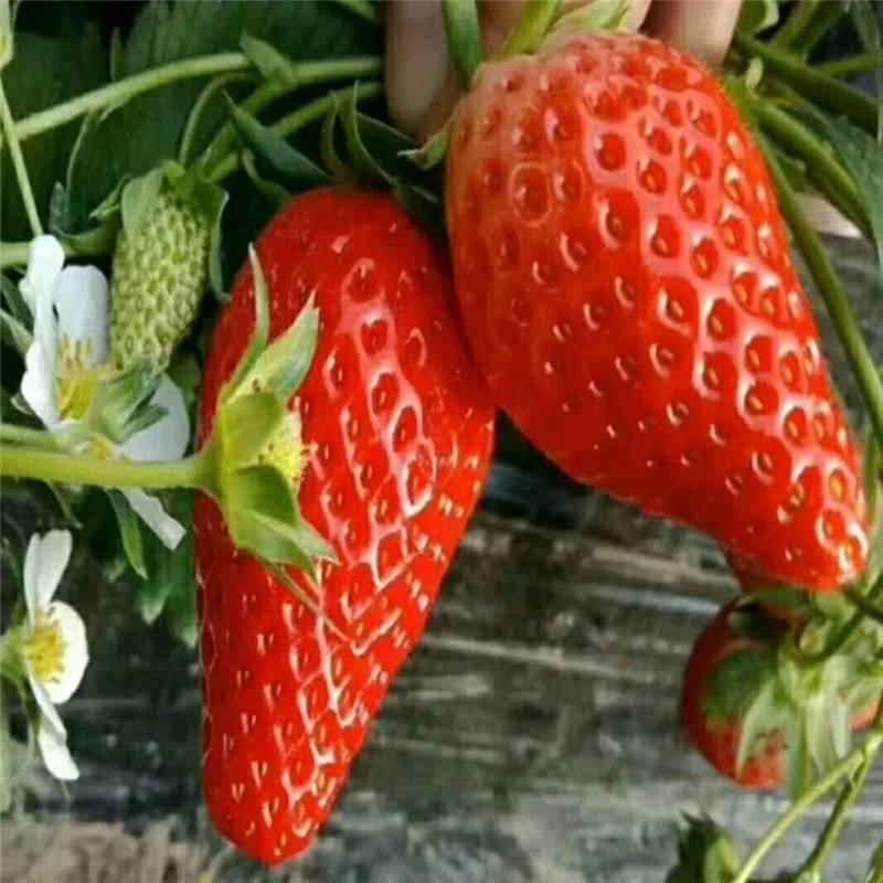 红颜草莓苗哪里的好