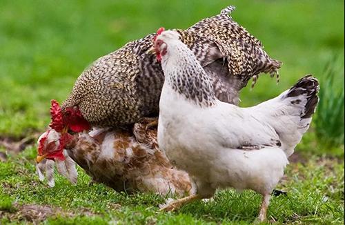 高致病性禽流感疫情應急實施方案(2020年版)