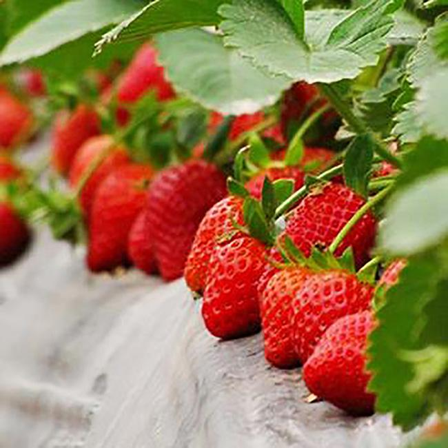 草莓苗基地