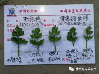 轻松种出好芹菜
