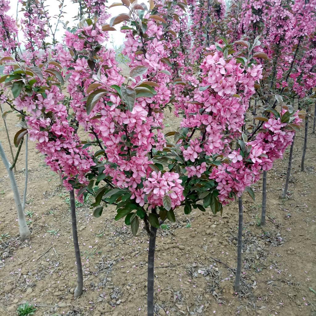 兰州花灌木